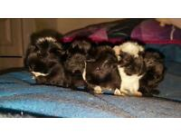 Two baby guinea pig for sale £ 15 each