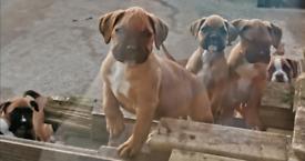 Stunning litter of Boxer Puppies