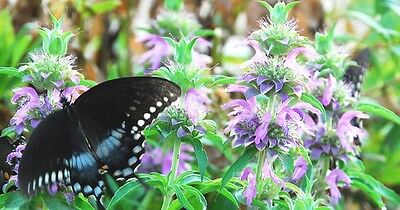 - Lemon Mint-Lemon scent and lavender flowers-attracts hummingbirds and butterfies