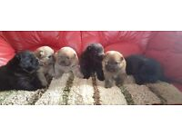 Sold chow chow puppies