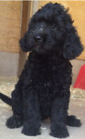 Female Black goldendoodle puppy small framed - 40-50 lbs