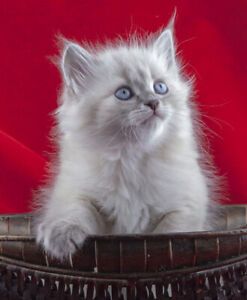 Four UNIQUE beautiful Siberian kittens for sale