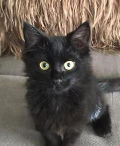 "Baby Female Cat - Domestic Short Hair-black: ""Blackie"""