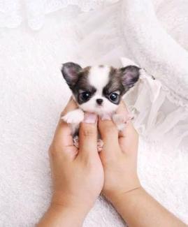 Wanted: Chihuahua/Pomeranian Puppy Wanted