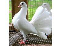 Wanted garden doves.