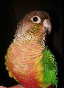 Conure ***LOOKING FOR OWNER***