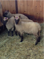 Sheep. Lambs for sale. From registered ewes. $250 each.