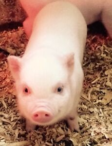 PET MINI PIGS - Only 3 Left London Ontario image 1