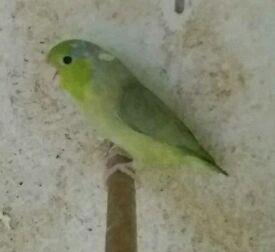 Pied parrotlets
