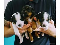 Jack Russell pups for sale 1 male 1 bitch