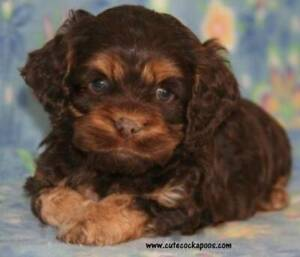 Wanted Cavoodle Puppy