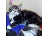 Sweet little Tabby Kittens in need of a loving family home... playful and loving