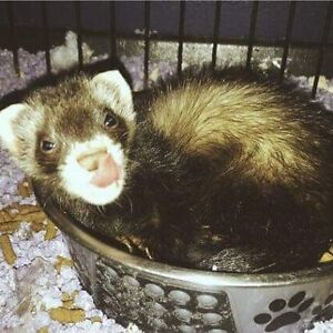 Baby ferret available at The Extreme Aquarium now!