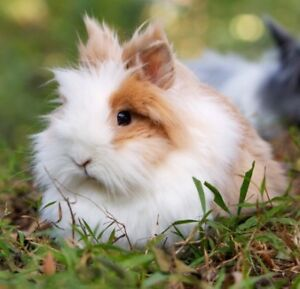 LOOKING FOR LIONHEADS AND HOLLAND LOPS