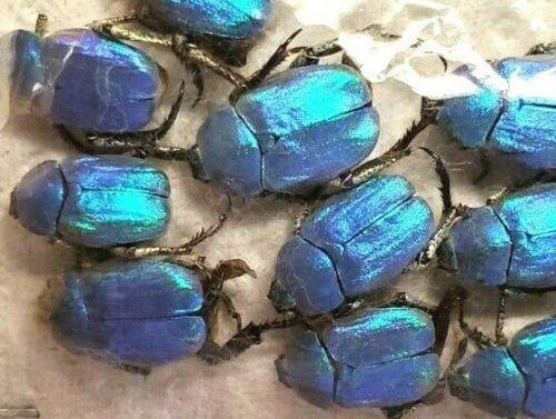 HOPLIA COERULEA - Lot of 5 BLUE SCARABS, UNMOUNTED - FRANCE
