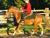 ALL ROUND HORSE (doesnt gait)