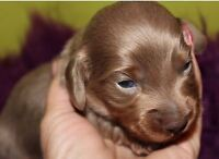 CKC reg Isabella Tan & Blue male long coat mini dachshund puppys