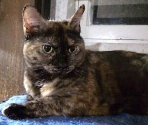 "Adult Female Cat - Domestic Short Hair: ""Opale"""