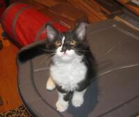 "Baby Male Cat - Domestic Medium Hair-black and white: ""Humphrey"""