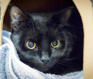 "Young Male Cat - Domestic Short Hair: ""Craven"""