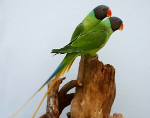 Slaty Head Parakeet