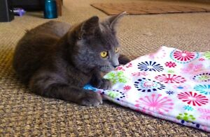 Meet VIOLET...Russian Blue Mix Kitten...Adorable,Adoptable London Ontario image 7