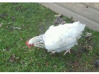 White Seussex Hens POL