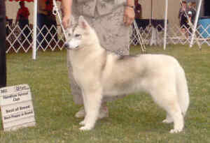 Siberian Husky Female