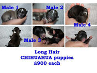 Gorgeous Long Hair Chihuahua Male Puppies For Sale £900