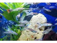 tropical guppy fish 10 for £10