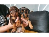 Miniature Dachshund puppies ready to leave !