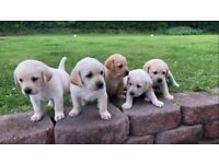 Goldador (Labrador x Golden Retriever)Puppies For Sale