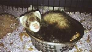 Baby ferret available at The Extreme Aquarium here in Sarnia