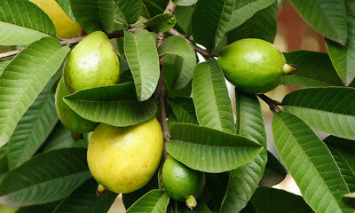 Natural Organic Guava Leaves Fresh Green Dried  Anti Hair Loss Tea = 50 Leaves