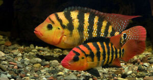 Looking for a Red Terror Festae Cichlid