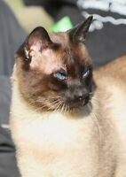 Male Siamese for sale.  A lovely sire!