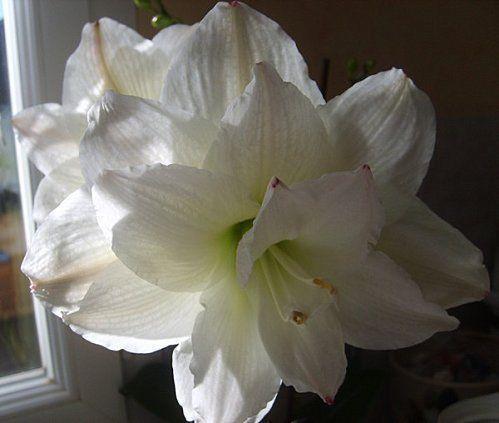 White Amaryllis Bulb Ebay
