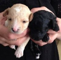 Toy poodle puppies 4 apricot and 1 black