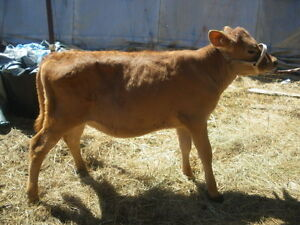 Lovely  limo cross heifer  calf 575$