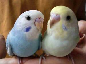 ~15+ SPOON Handraised Baby Budgies $50 EACH - PICK your Colour~ Kenwick Gosnells Area Preview