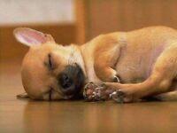 Beautiful Chihuahua puppies