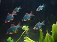 Green Tiger Barbs for sale - live tropical fish