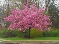 7ft Kanzan pink flowering cherry tree