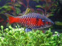 Colourful Odessa ~boisterous ~ lively in any Community tropical fish tank addition