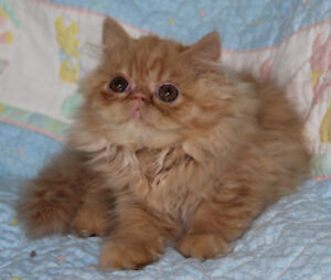 PURE BREED PERSIAN KITTENS
