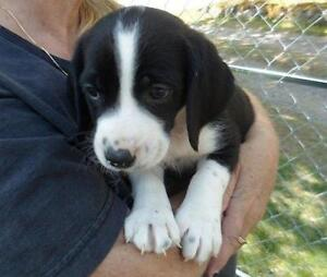 "Young Male Dog - Bluetick Coonhound-Labrador Retriever: ""Domino"""