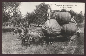 1908 COLO CO  LG PUMPKIN EXAGGERATION REAL UNUSED OLD PHOTO POSTCARD 1908 PC284