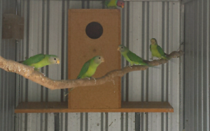Young Plumhead Parrots Gawler Gawler Area Preview