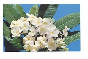 Hawaii Plumeria  LATE '60S