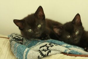 2 cute black kittens